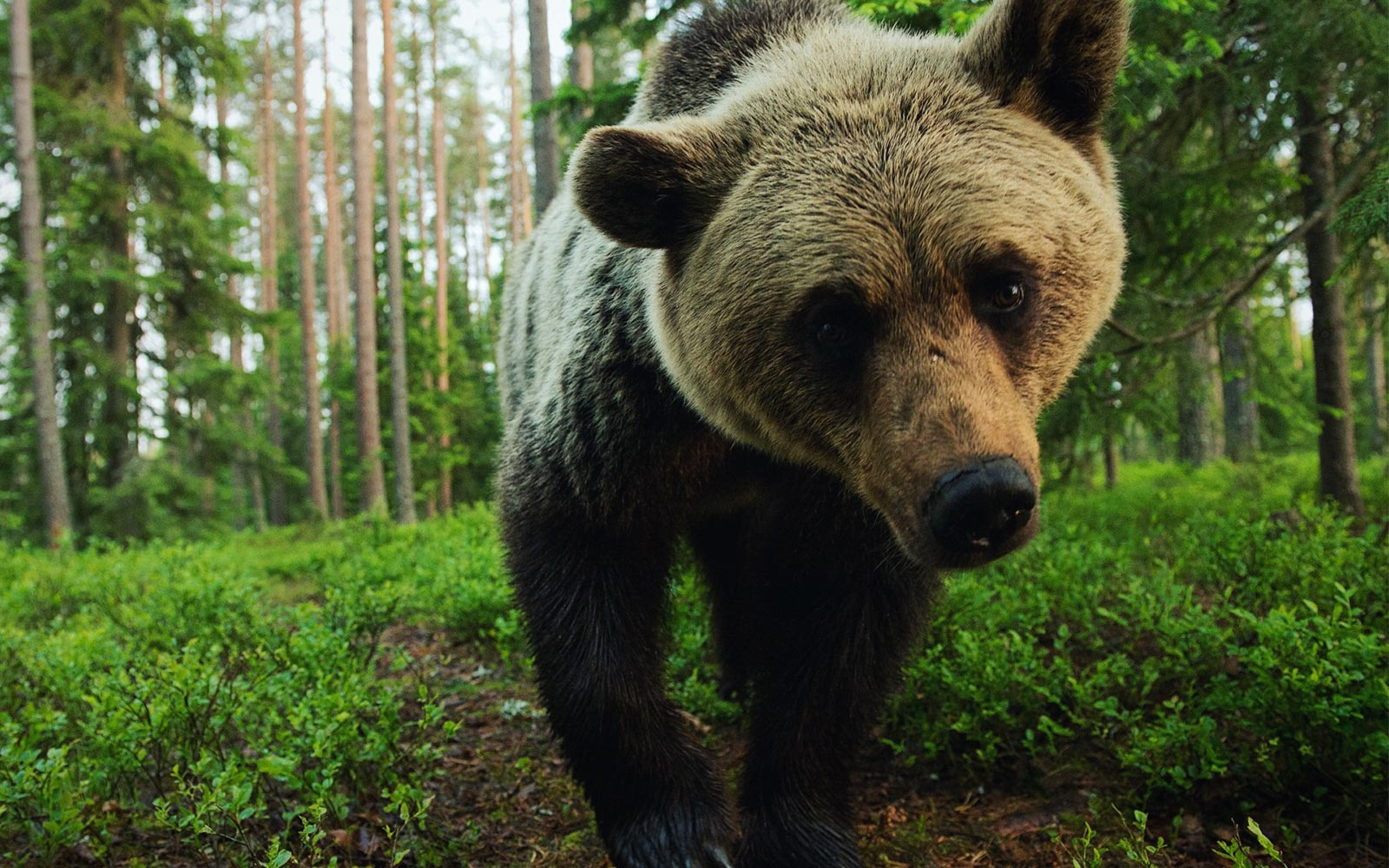 A Journey to the Finnish and Russian Border to Photograph Bears